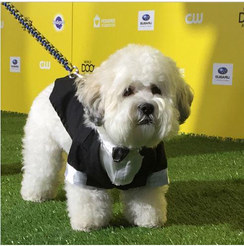 Brewers Ballpark Pup Wears Puppy Tuxedo on Green Carpet
