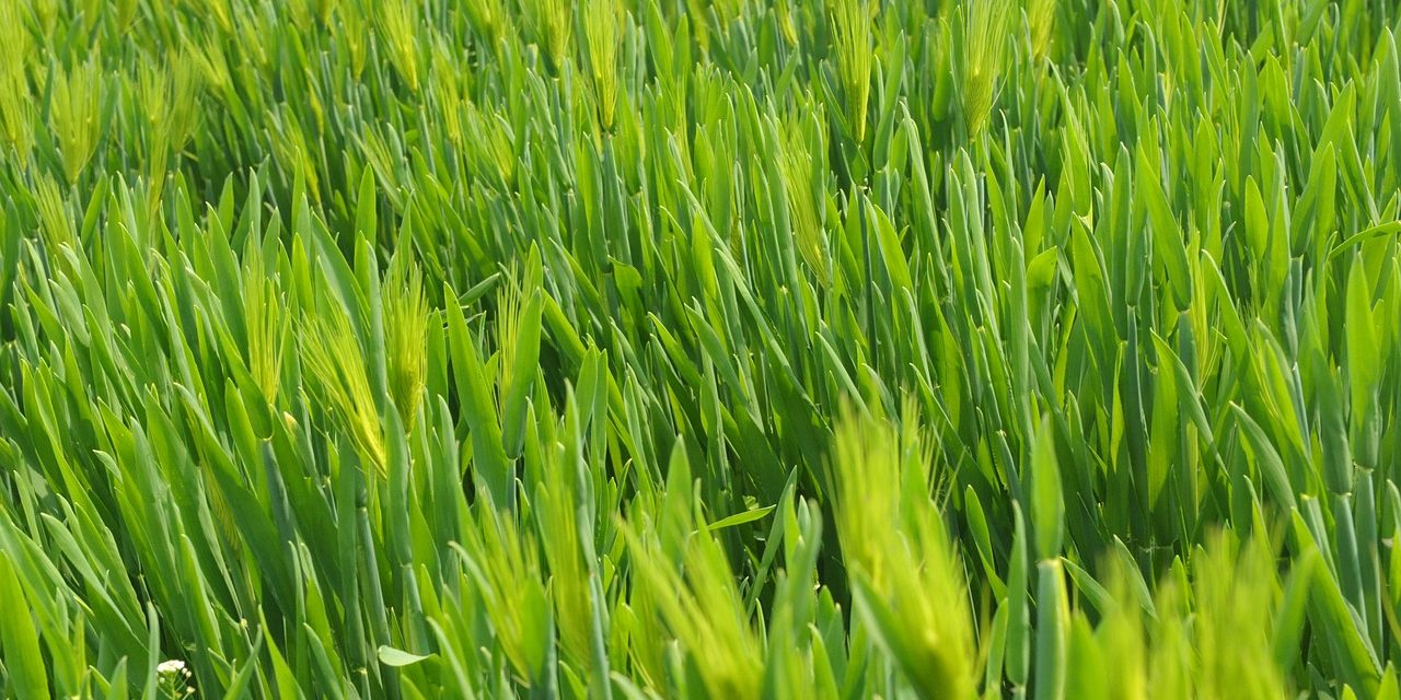 Boost Your Sports Performance with Wheatgrass